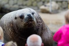 What ya lookin at ?! (Samuraiji) Tags: sea lion zee sealion dolfinarium harderwijk leeuw zeeleeuw canonef70200mmf28lusm canoneos550d