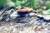 Biotopo naturale dei Laghetti delle Noghere (Pachibro Portfolio) Tags: lake nature mushroom foglie alberi canon lago eos natura fungus funghi albero trieste fungo friuliveneziagiulia muggia laghi 50d muja laghetti fogliame velenoso canoneos50d noghere velenosi shotsts scattifotografici pasqualinobrodella pachibroportfolio pachibro biotobo