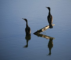 hanging out                   (sorry my friends, been away awhile) (planetlight) Tags: california blue reflection water birds river stillwater californiawinter planetlight
