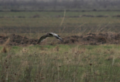 Curlew (riggy-riggo) Tags: cold bird nature canon coast kent spring wildlife windy 70300mm curlew seasalter shorebird wader deborahrigden riggyriggo