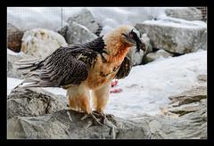 Bartgeier (Philipp_R) Tags: zoo tirol sterreich orte tierpark tiergarten innsbruck geier alpenzoo greifvogel bartgeier