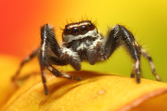 Jumping Spider (karthik Nature photography) Tags: macro nature animals closeup canon garden spider spiders wildlife web spiderweb sigma insects jumpingspider macrophotography karthikeyan salticidae spiderworld insectphotography macrolife spiderphotography beautifulspiders karthikphotography jumpingspidersoftheworld beautifuljumpingspiders jumpingspidersofindia