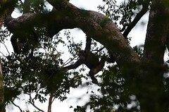 The gentle people of the trees (supersky77) Tags: africa forest monkey guinea chimp westafrica ape pan chimpanzee foresta pantroglodytes guineabissau scimmia scimpanzè guinèbissau africaoccidentale cantanhez cantanheznationalpark