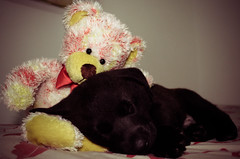 Baby Bosco (laisadgs) Tags: friends dog baby amigos cute puppy dormir sono pelucia boanoite