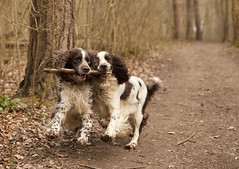 The Daft Duo (JamboEastbourne) Tags: england playing english ess forest fun sussex east stick spaniel springer spaniels friston petranella