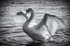 The swan (mlphoto) Tags: blackandwhite bw bird nature water swan wasser natur sw schwan vogel schwarzweis mlphoto mlphoto markuslandsmannzenfoliocom markuslandsmann mlandsmann markuslandsmannphotography