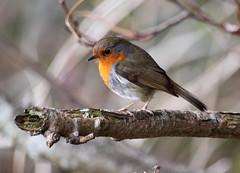 """""""Pensive"""" (explored) (Robin Bain) Tags: eglintonpark theenchantedcarousel"""