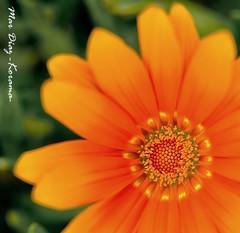 - te presiento - (Mar Diaz -korama- OFF POR UN TIEMPO) Tags: winter flower macro luz bokeh flor invierno malaga perspectivas macroenespaol 35mm18 nikond7000 mardiazkorama