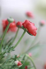 (kat evans) Tags: flower shower spring flora ranunculus april