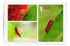 Red Caterpillar (Ringgo Gomez) Tags: nikon105mm macroextreme macrolicious topseven flickraward malaysianphotographers elitephotography macromarvels macrolife nikond700 sarawakborneo flickraward5 flickrawardgallery