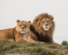 Lions at the YWP (Steve Barowik) Tags: animals zoo meerkat nikon tiger lion conservation leopard giraffe fullframe fx wwf amur doncaster 80400mm d600 africanplains nikond600 nikon80400mmf4556dafvr yorkshirewildlifepark barowik stevebarowik sbofls26