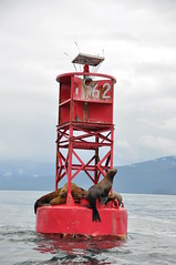 Steller sea lions on a buoy near Petersburg, Alaska (rzm_photos) Tags: sea alaska lion stellar sound sealion buoy frederick jubatus eumetopias