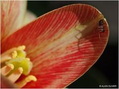Première fleur de tulipe