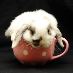 Fancy a cuppa? (blacksplat) Tags: baby cute rabbit bunny animal furry adorable fluffy mini squareformat ear lapin eared lop