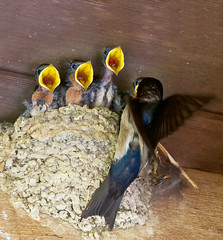 Feeding Time (shashin62) Tags: baby birds yellow babies nest feeding taiwan kaohsiung hungry swallow swallows beaks
