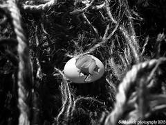 Sparrow Baby Shot 5 (Kawthar ALHassan) Tags: blackandwhite bw baby white black macro monochrome photography mono blackwhite egg sparrow eggs hatch hatching kawthar alhassan soullovelyphotography kawtharalhassan