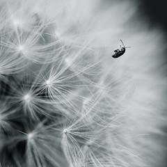 Lost in the white flower (Giulio Magnifico) Tags: flower macro monochrome insect square blackwhite santamargherita taraxacumofficinale nikond800 nikkormicro105mmafsvrf28