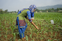 CSISA intern Mitra Rawat weeds an on-farm maize trial plot in Bhamake, Dang. (CIMMYT) Tags: nepal csisa cimmyt maize agriculture smallholder farmer mechanization asia