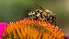 P1050066 (mbasilephotography) Tags: beesandflowers bees echinacea echinaceapurpurea