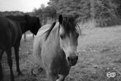 Summicron 50mm (Ney Bokeh) Tags: leica summicron 50mm dof bokeh horse