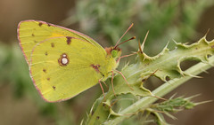 Clouded yellow Butterfly (Colias croceus). (Sandra Standbridge.) Tags: clouded yellow butterfly coliascroceus cloudedyellow migrant thistle wildandfree outdoor kent macro insect