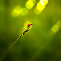 Ladybeetle.jpg (Riccardo Dusi) Tags: macro summer evening 11quadratic june genre animals bug germany ladybeetle marienheide 2011 europe northrhinewestphalia vermin nordrheinwestfalen deutschland de