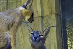 P1040508 (LaBonVampire) Tags: caracal animals nature leica leicalenses lumix