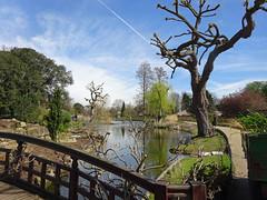 tree surgery (dick_pountain) Tags: trees willows pruned pollarded pollard regentspark lake bridge sky contrail