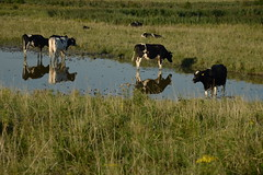 Bovine paddle DST_6350 (larry_antwerp) Tags: cow koe bovine water pond vijver weide meadow rilland bath netherlands nederland