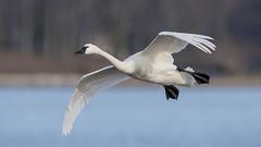 Tundra Swan (nikunj.m.patel) Tags: tundraswan swan waterfowl migration nature photography wildlife nikon d810
