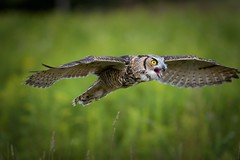 Great Horned Owl (wrpryde) Tags: oiseau ontario outdoor owl greathornedowl raptor nikon nature natur naturaleza nikkor300mm canada