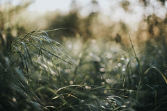 (DrowsyPotato) Tags: nature grass tones mood moody lovely beautiful forest light evening summer bokeh bokehful bokehlicious a7rii mark ii 2 mk2 mkii alpha sony 50l ilce7rm2