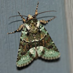 moth (f.tyrrell717) Tags: moth whit black green bukg macro