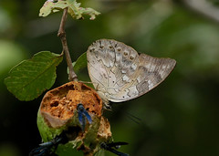 One-spotted Prepona ----- Archaeoprepona demophon (creaturesnapper) Tags: borinquenmountainresort costarica butterflies lepidoptera insects rincondelavieja onespottedprepona archaeopreponademophon nymphalidae