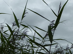 Reed bed (sarahchesney1) Tags: grass reedbed leightonmoss