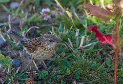 Accenteur mouchet (JeanJoachim) Tags: accenteurmouchet prunellamodularis dunnock hedgesparrow passeriformes prunellidae oiseau bird vogel aves uccello fgel fugl pssaro  lintu  ptak pentaxk5iis smcpentaxda300mmf4edifsdm