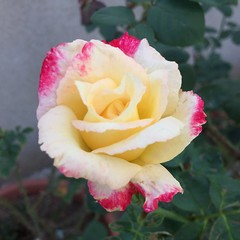 Double Delight Rose (Assaf Shtilman) Tags: rose white trim red delight double