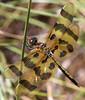 immature male halloween pennant (ophis) Tags: odonata anisoptera libellulidae celithemis celithemiseponina halloweenpennant