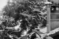 Sunlight on Green (John fae Fife) Tags: dof france noiretblanc monochrome plant bw villeneuvelsbziers hrault blackandwhite chimney languedocroussillon nb depthoffield
