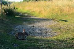 Minsmere Rabbit (Bob Hawley) Tags: summerholidays england suffolk nikond7100 outdoors oryctolaguscuniculus rabbits mammals animals wildlife minsmere nikon50mmf14