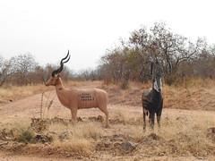 DSCN3835 (David Bygott) Tags: africa tanzania ruaha roadsign signpost animal sculpture