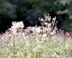 Surrey Hills flowers (groovyjs86) Tags: panorama tree sky clouds kodak ektar mamiyarz67proii