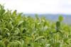 Tea fields in Wazuka (Obubu Tea Farms) Tags: countryside greentea japan japanesetea obubu obubutea tea teafields wazuka