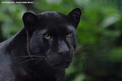 African black leopard - Olmense Zoo (Mandenno photography) Tags: dierenpark dierentuin dieren animal animals olmense olmensezoo olmen leopard african belgie belgium bigcat big cat