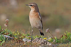Wheatear (Oenanthe oenanthe) (drbut) Tags: wheatear oenantheoenanthe chatsandthrushes turdidae bird birds nature wildlife outdoor