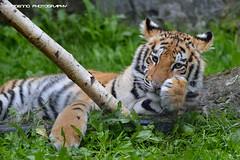 Bengal tiger cub - Olmense zoo (Mandenno photography) Tags: dierenpark dierentuin dieren animal animals belgie belgium bigcat big cat olmense olmensezoo olmen ngc