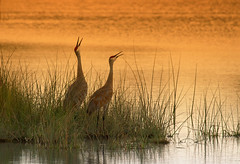Last call before sunset (LastBestPlace) Tags: sandhillcranes wisconsin sunset janekaufman sandhillcrane kettlemorainestateforest ottawalakestatepark