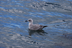 Young Gull (Errols Cuz) Tags: birds gulls dungarvan seascapes countywaterford ireland dungarvanbay teresaflynn