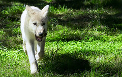 White wolf pup (mbernholdt) Tags: 500px animal knuthenbork nature wolf cup denmark mammal photography white wild wolfcup naturephotography whitewolf