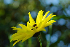yellow.......... (atsjebosma) Tags: flower insect bloem yellow blue macro bokeh garden tuin atsjebosma groningen thenetherlands nederland september beautifulweather 2016 geel blauw